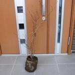 無料配布でもらったブルーベリーの苗木
